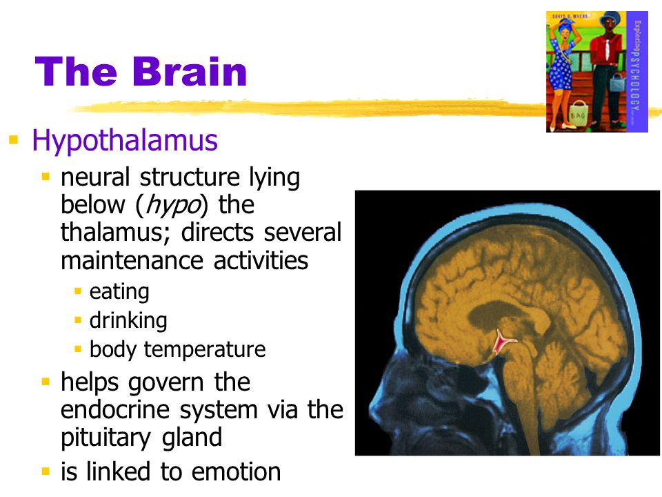 The Brain Hypothalamus neural structure lying below (hypo) the thalamus; directs several maintenance activities eating drinking body temperature helps