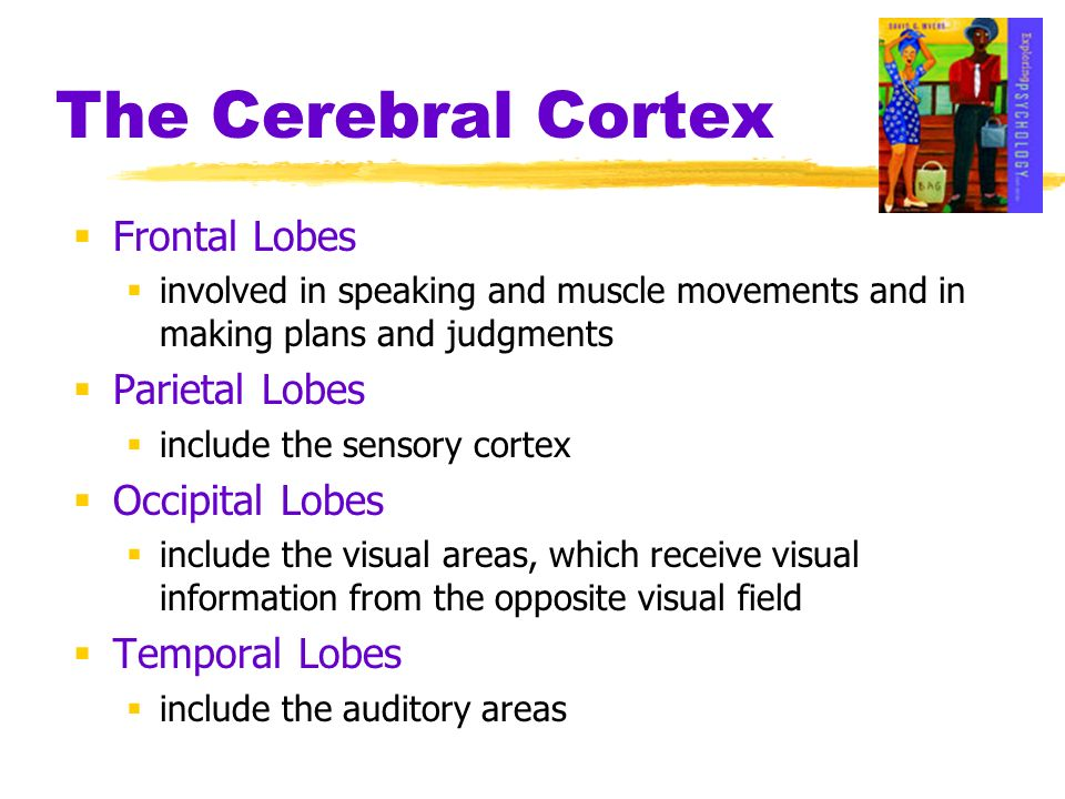 The Cerebral Cortex Frontal Lobes involved in speaking and muscle movements and in making plans and judgments Parietal Lobes include the sensory corte