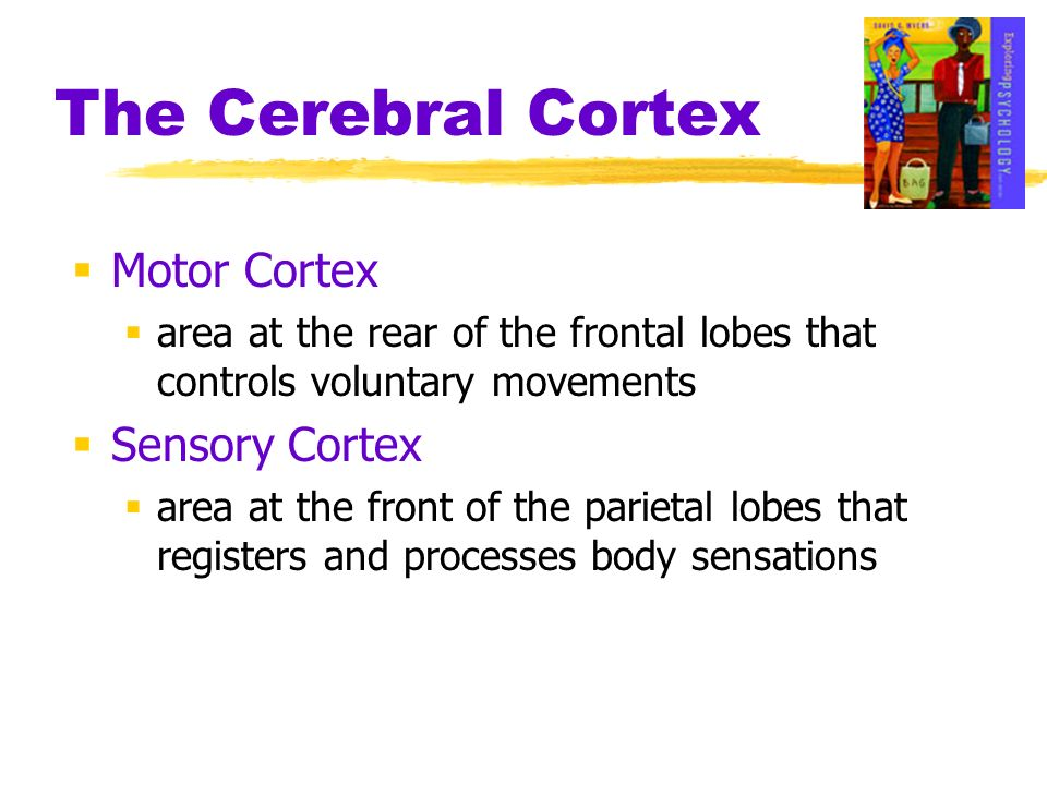 Motor Cortex area at the rear of the frontal lobes that controls voluntary movements Sensory Cortex area at the front of the parietal lobes that regis