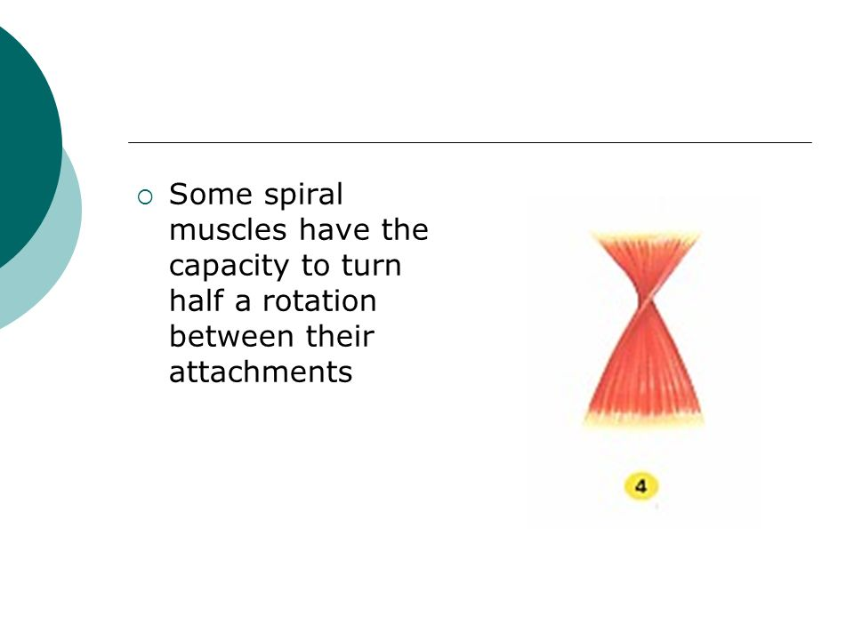 Some spiral muscles have the capacity to turn half a rotation between their attachments