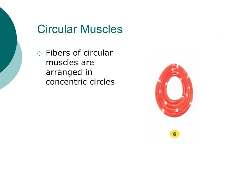 Circular Muscles Fibers of circular muscles are arranged in concentric circles