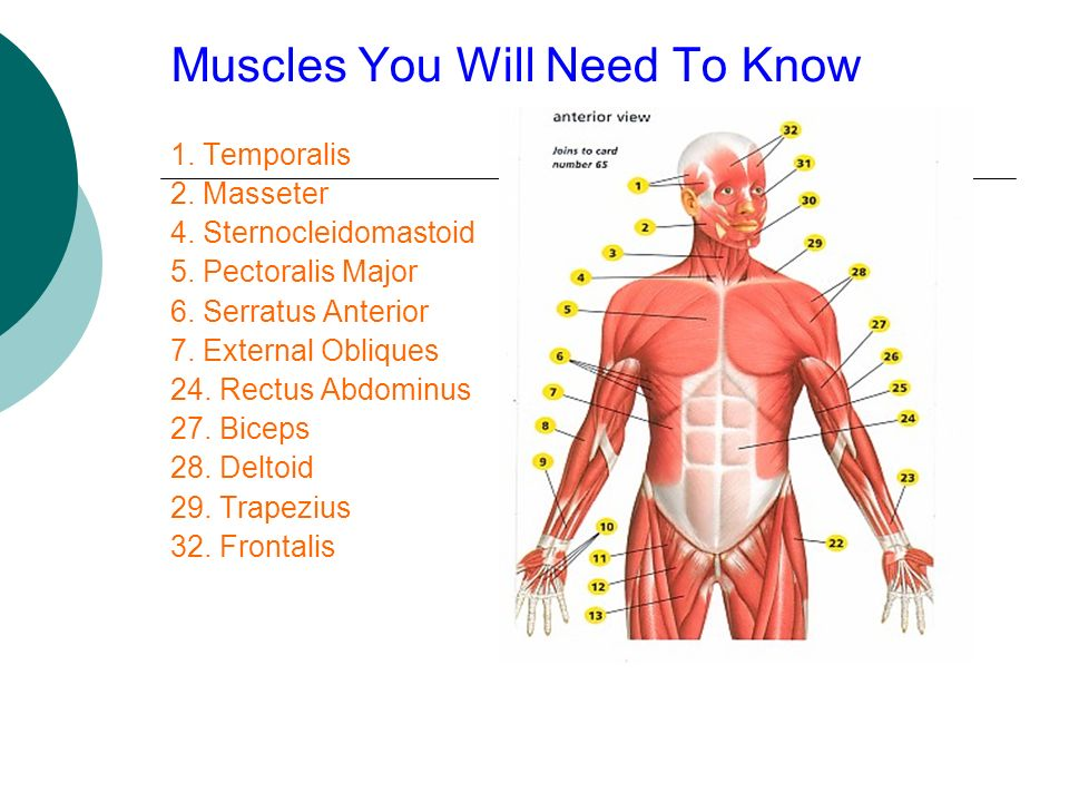 Muscles You Will Need To Know 1. Temporalis 2. Masseter 4. Sternocleidomastoid 5. Pectoralis Major 6. Serratus Anterior 7. External Obliques 24. Rectu