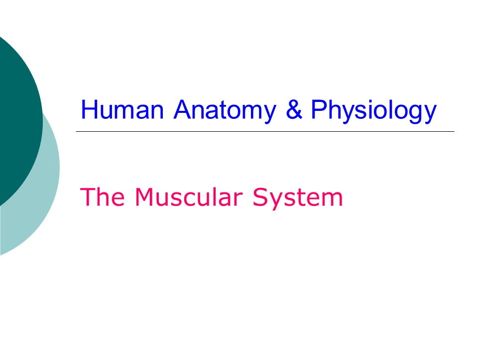 Human Anatomy & Physiology The Muscular System