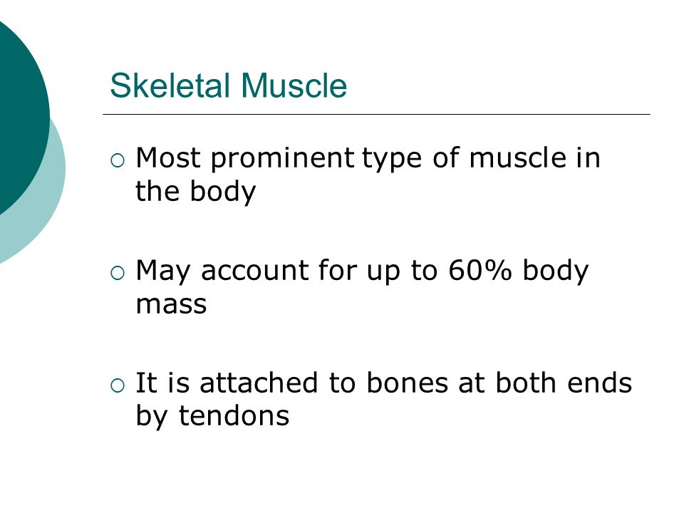 Skeletal Muscle continued… Skeletal muscle is under constant control, therefore, known as: Voluntary Muscle