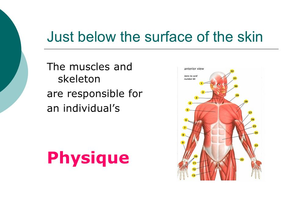 Just below the surface of the skin The muscles and skeleton are responsible for an individuals Physique