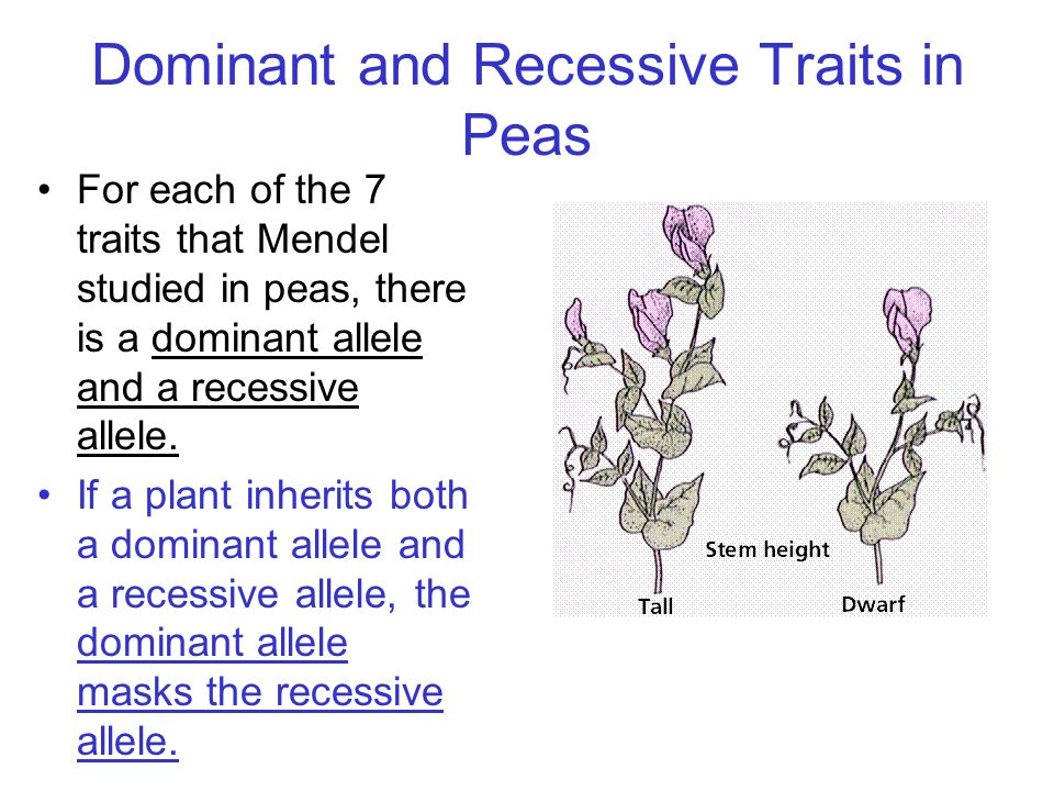 Dominant and Recessive Traits in Peas For each of the 7 traits that Mendel studied in peas, there is a dominant allele and a recessive allele. If a pl