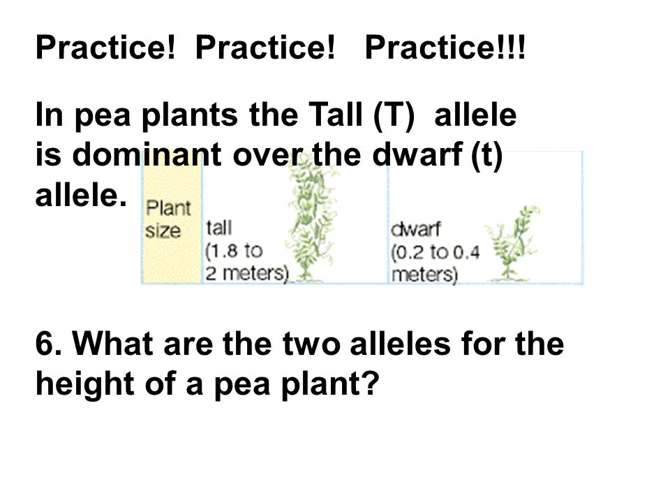 Practice! Practice! Practice!!! In pea plants the Tall (T) allele is dominant over the dwarf (t) allele. 6. What are the two alleles for the height of