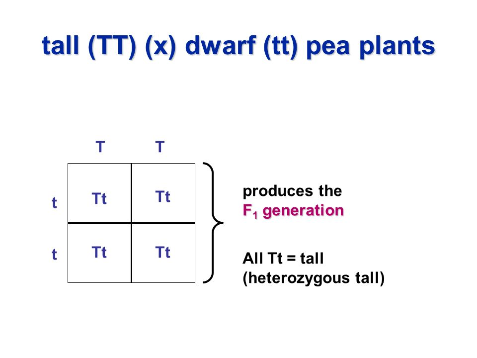 tall (TT) (x) dwarf (tt) pea plants t t TT Tt All Tt = tall (heterozygous tall) produces the F 1 generation