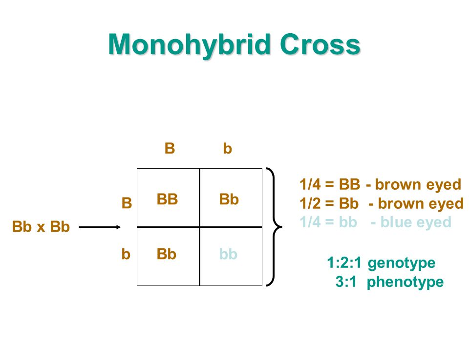 Monohybrid Cross BB Bb bbB b Bb Bb x Bb 1/4 = BB - brown eyed 1/2 = Bb - brown eyed 1/4 = bb - blue eyed 1:2:1 genotype 3:1 phenotype