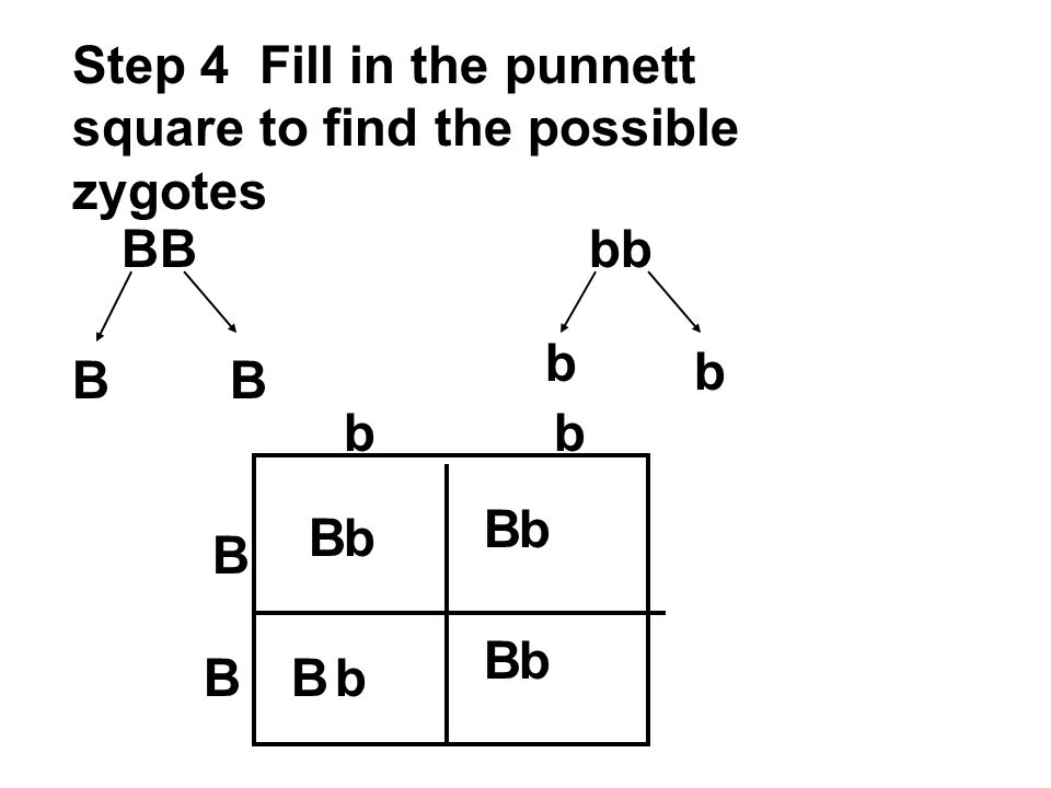 Step 4 Fill in the punnett square to find the possible zygotes BBbb BB b b B B bb B B B B b b b b