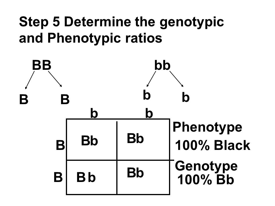 Step 5 Determine the genotypic and Phenotypic ratios BBbb BB b b B B bb B B B B b b b b Phenotype 100% Black Genotype 100% Bb