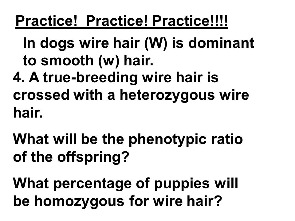Practice! Practice! Practice!!!! In dogs wire hair (W) is dominant to smooth (w) hair. 4. A true-breeding wire hair is crossed with a heterozygous wir