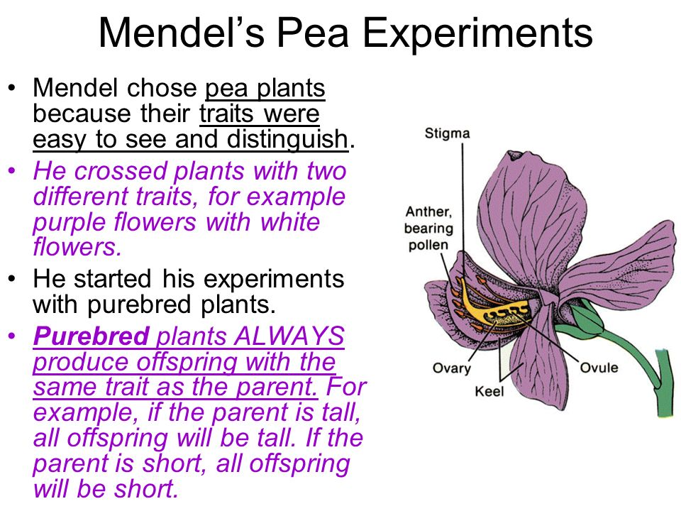 Mendels Pea Experiments Mendel chose pea plants because their traits were easy to see and distinguish. He crossed plants with two different traits, fo