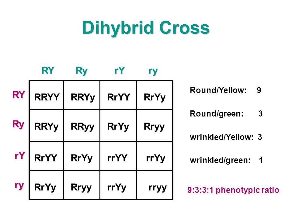RRYY RRYy RrYY RrYy RRYy RRyy RrYy Rryy RrYY RrYy rrYY rrYy RrYy Rryy rrYy rryy Round/Yellow: 9 Round/green: 3 wrinkled/Yellow: 3 wrinkled/green: 1 9:3:3:1 phenotypic ratio RYRyrYryRY Ry rY ry