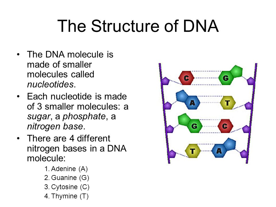 The Structure of DNA The DNA molecule is made of smaller molecules called nucleotides. Each nucleotide is made of 3 smaller molecules: a sugar, a phos