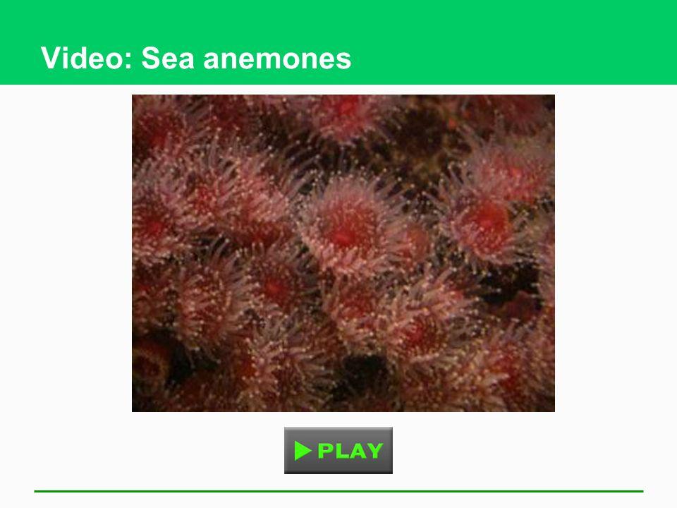 Video: Sea anemones