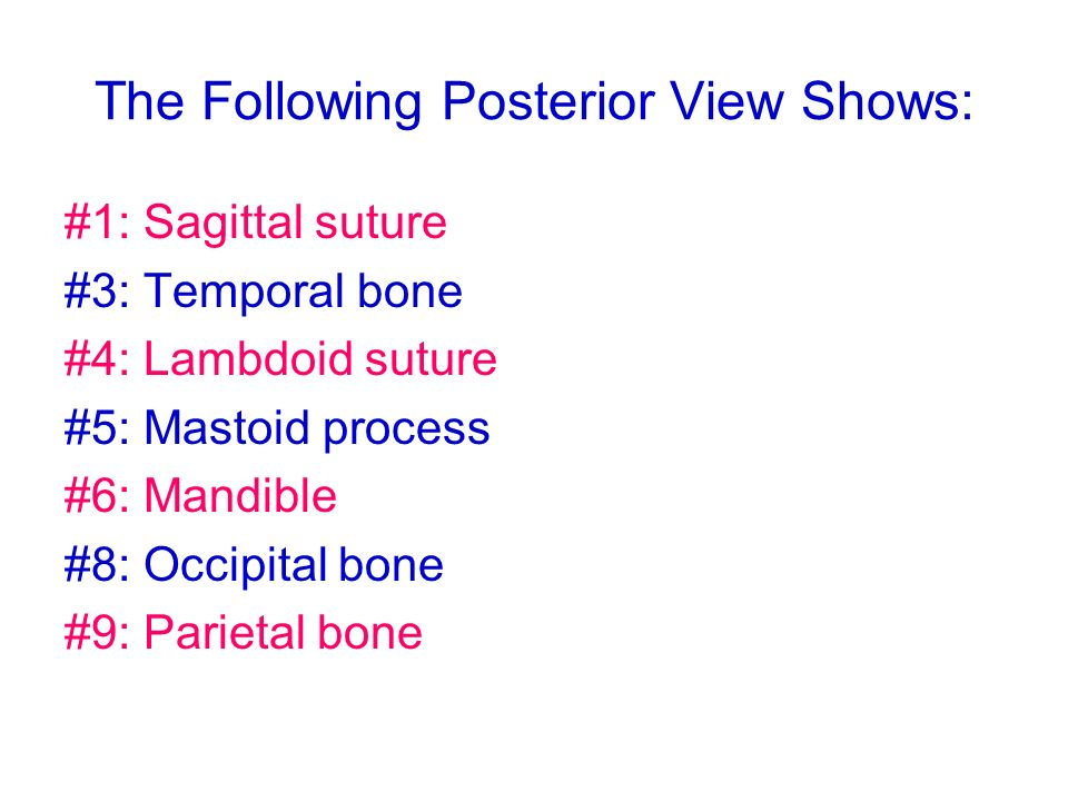 The Following Posterior View Shows: #1: Sagittal suture #3: Temporal bone #4: Lambdoid suture #5: Mastoid process #6: Mandible #8: Occipital bone #9: