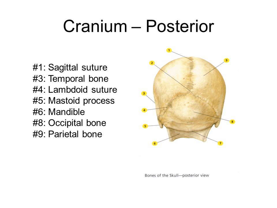 Cranium – Posterior #1: Sagittal suture #3: Temporal bone #4: Lambdoid suture #5: Mastoid process #6: Mandible #8: Occipital bone #9: Parietal bone