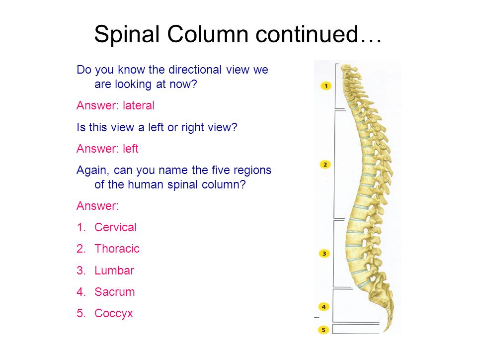 Spinal Column continued… Do you know the directional view we are looking at now? Answer: lateral Is this view a left or right view? Answer: left Again
