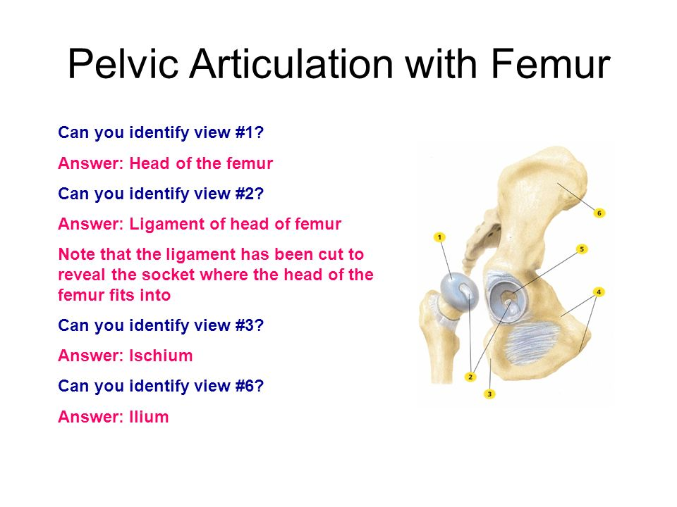 Pelvic Articulation with Femur Can you identify view #1? Answer: Head of the femur Can you identify view #2? Answer: Ligament of head of femur Note th