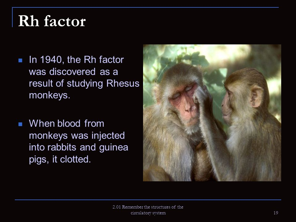 2.01 Remember the structures of the circulatory system 19 Rh factor In 1940, the Rh factor was discovered as a result of studying Rhesus monkeys. When