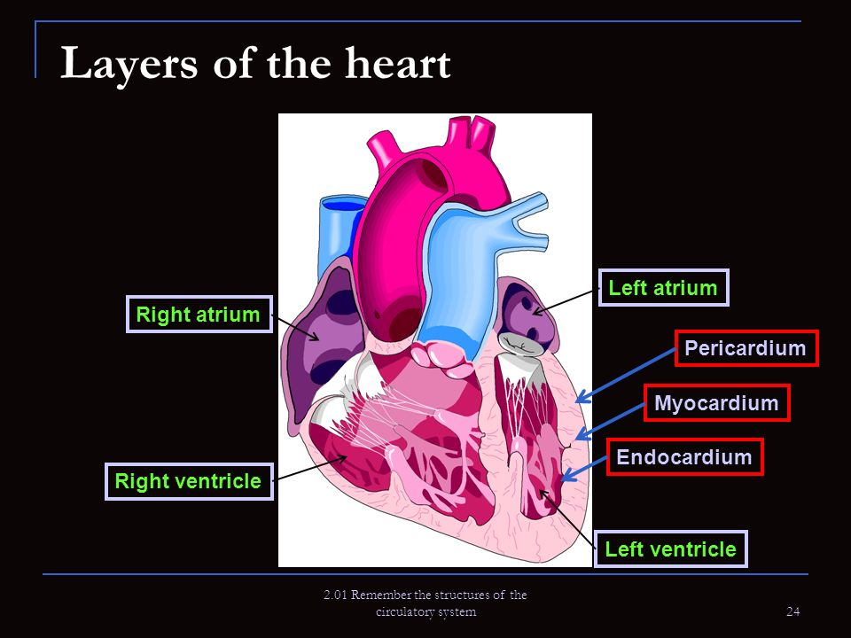 2.01 Remember the structures of the circulatory system 24 Layers of the heart Right atrium Right ventricle Left atrium Left ventricle Myocardium Endoc