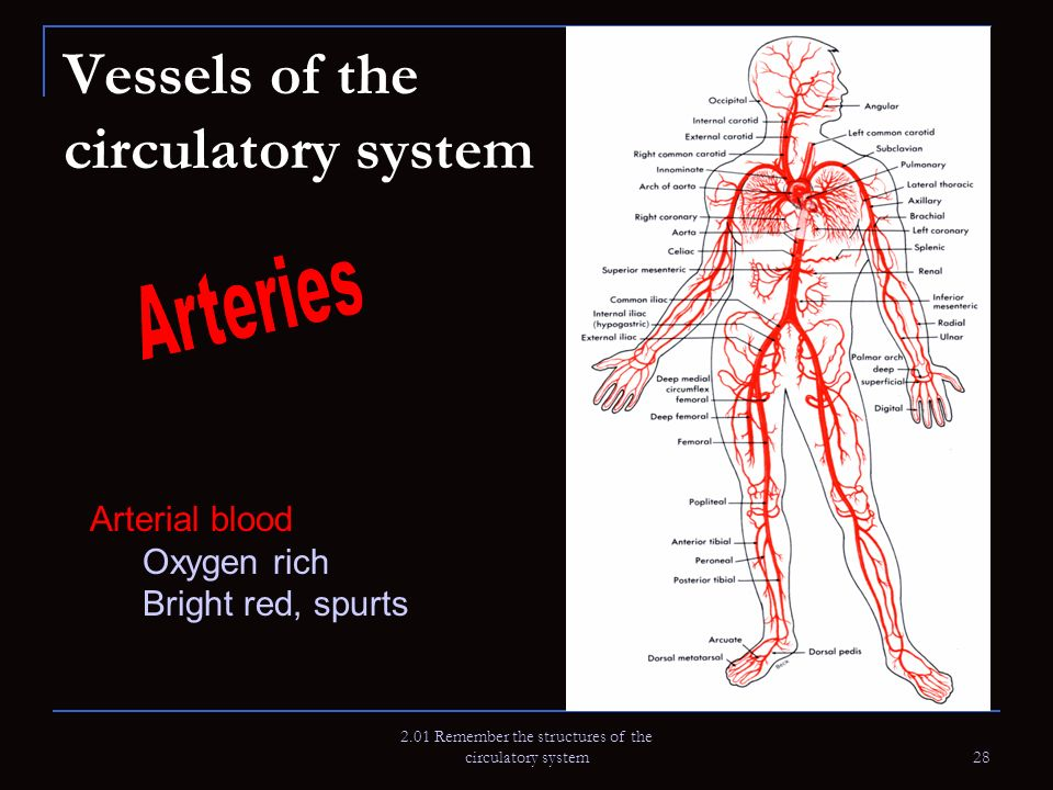 2.01 Remember the structures of the circulatory system 28 Vessels of the circulatory system Arterial blood Oxygen rich Bright red, spurts