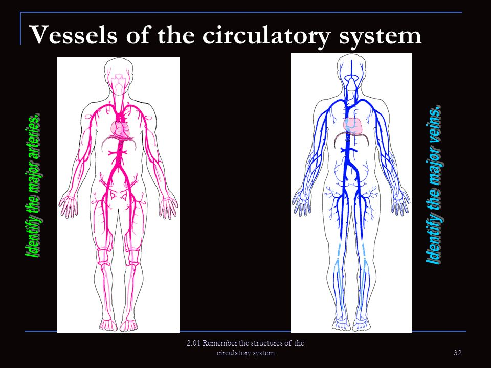 2.01 Remember the structures of the circulatory system 32 Vessels of the circulatory system