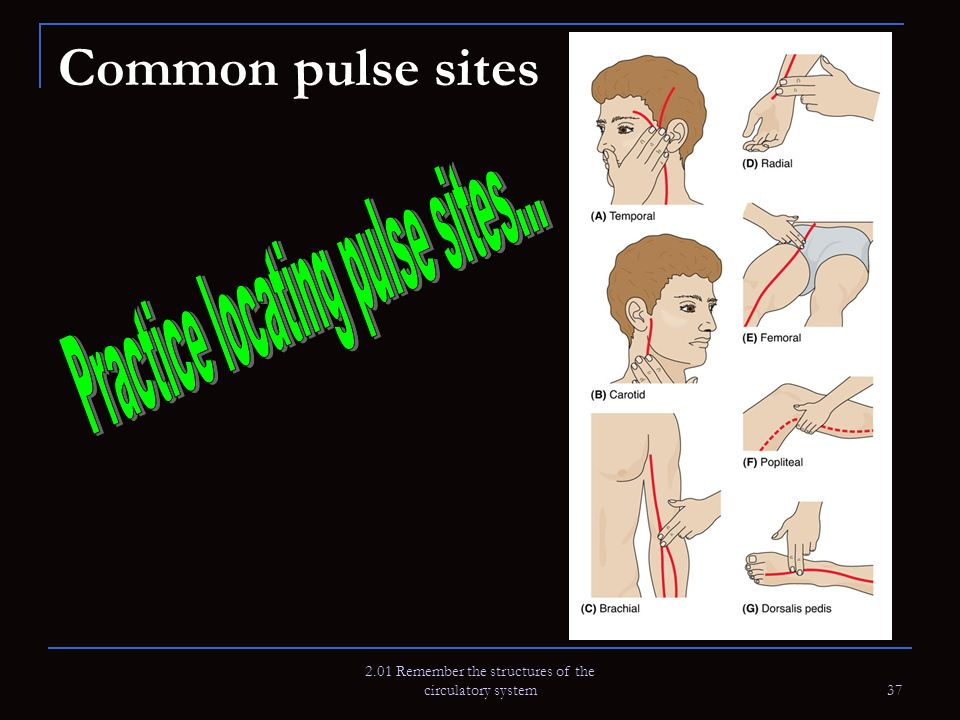 2.01 Remember the structures of the circulatory system 37 Common pulse sites