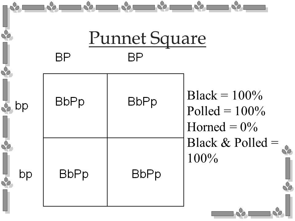 Punnet Square Black = 100% Polled = 100% Horned = 0% Black & Polled = 100%