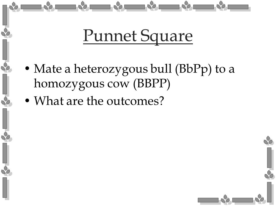 Punnet Square Mate a heterozygous bull (BbPp) to a homozygous cow (BBPP) What are the outcomes?