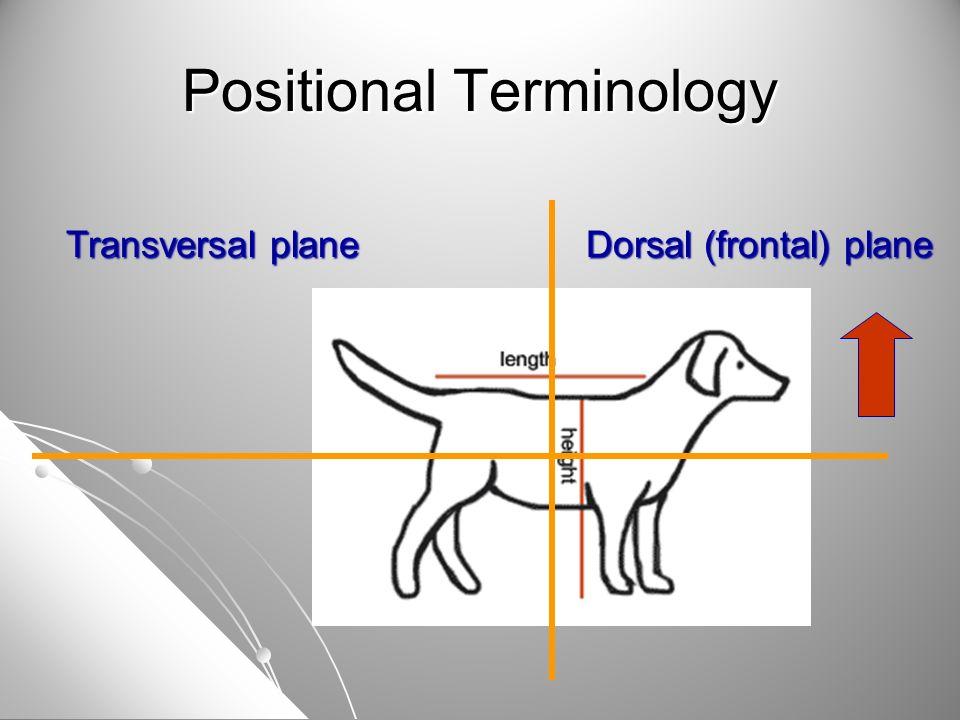 Dorsal (frontal) plane Transversal plane