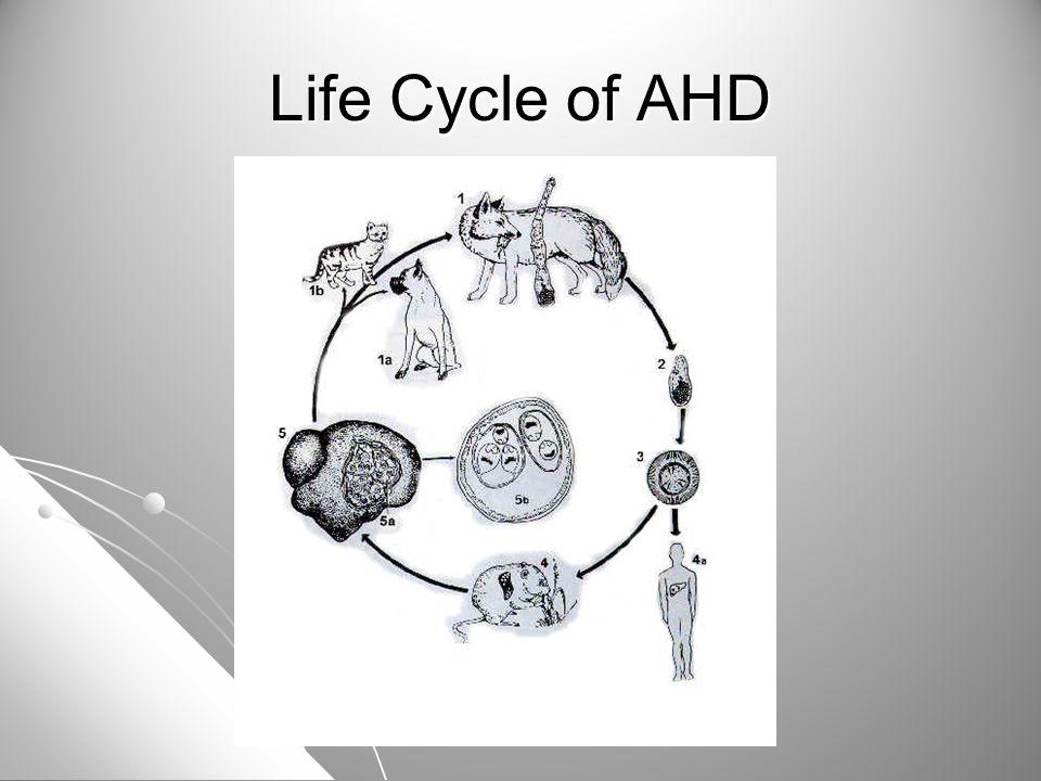 Life Cycle of AHD