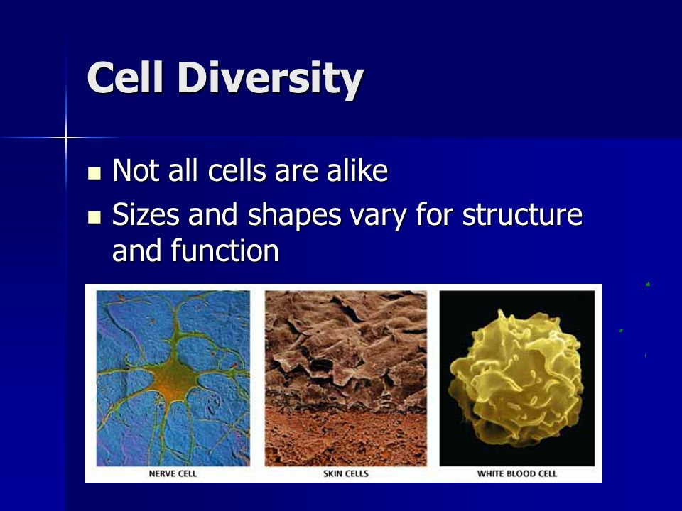 Cell Diversity Not all cells are alike Not all cells are alike Sizes and shapes vary for structure and function Sizes and shapes vary for structure an