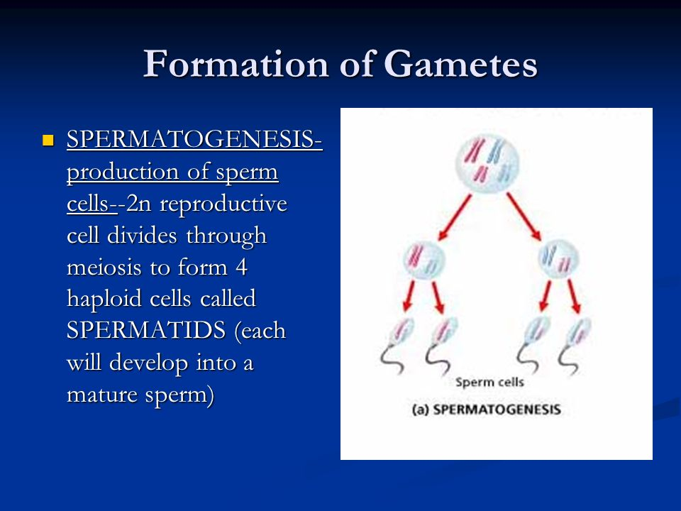 Formation of Gametes SPERMATOGENESIS- production of sperm cells--2n reproductive cell divides through meiosis to form 4 haploid cells called SPERMATID