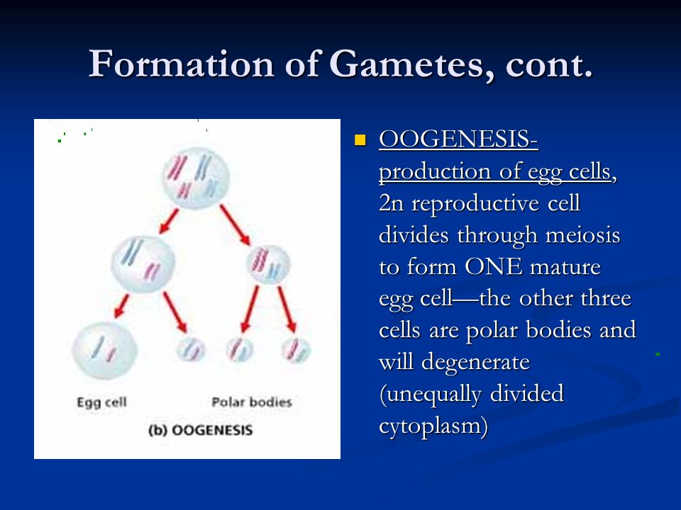 Formation of Gametes, cont. OOGENESIS- production of egg cells, 2n reproductive cell divides through meiosis to form ONE mature egg cellthe other thre