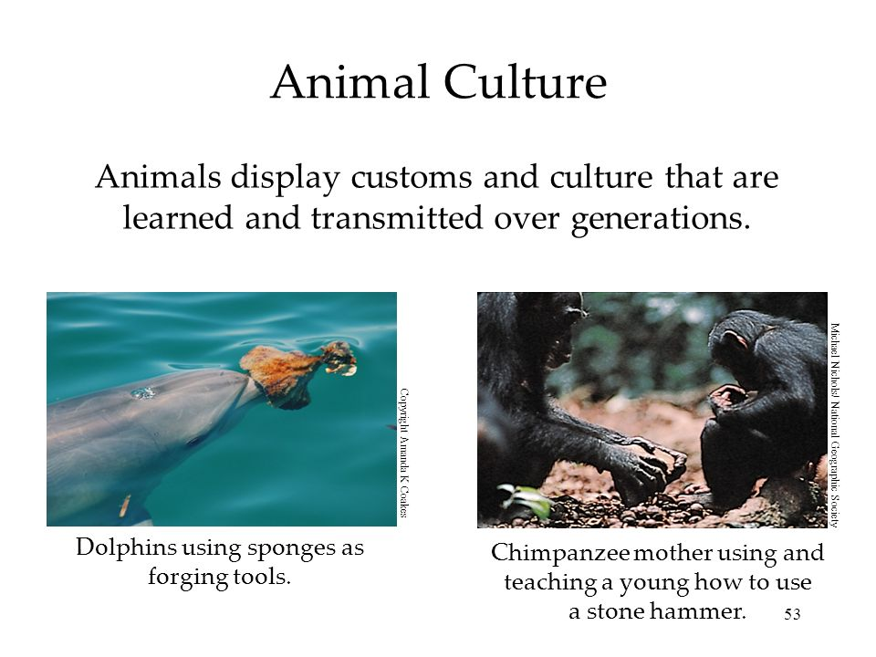 53 Animal Culture Animals display customs and culture that are learned and transmitted over generations. Dolphins using sponges as forging tools. Chim