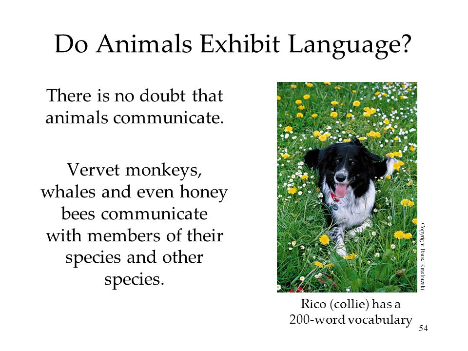 54 Do Animals Exhibit Language? There is no doubt that animals communicate. Vervet monkeys, whales and even honey bees communicate with members of the
