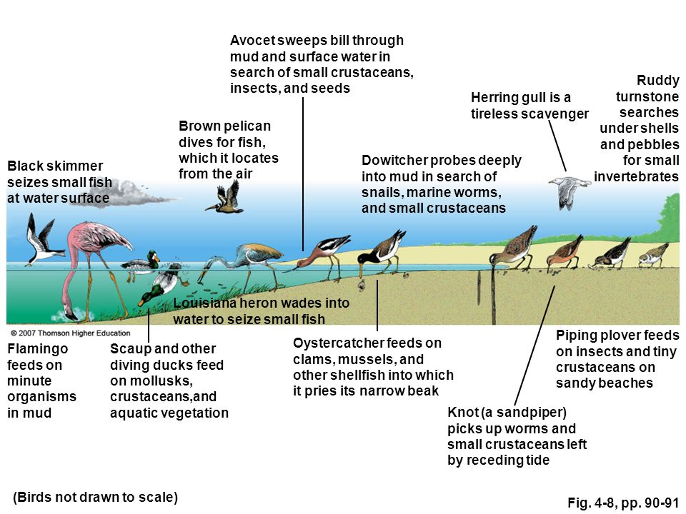 Fig. 4-8, pp. 90-91 Piping plover feeds on insects and tiny crustaceans on sandy beaches (Birds not drawn to scale) Black skimmer seizes small fish at