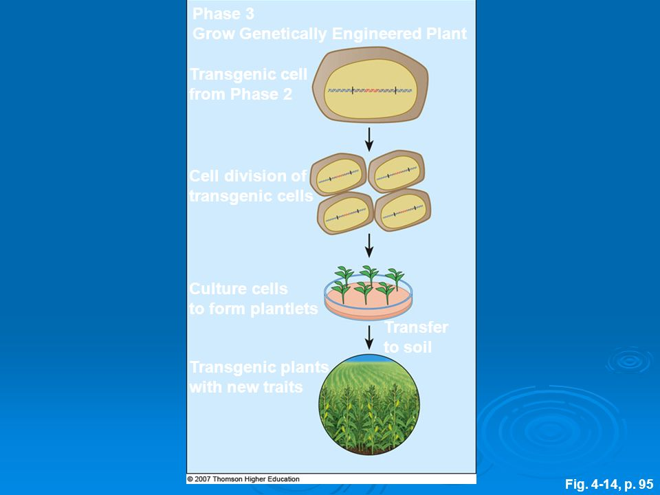 Fig. 4-14, p. 95 Cell division of transgenic cells Phase 3 Grow Genetically Engineered Plant Transfer to soil Transgenic plants with new traits Transg