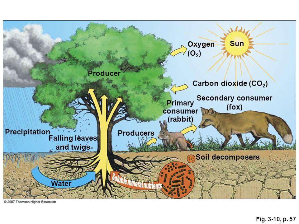 Fig. 3-10, p. 57 Sun Oxygen (O 2 ) Carbon dioxide (CO 2 ) Secondary consumer (fox) Soil decomposers Primary consumer (rabbit) Precipitation Falling le