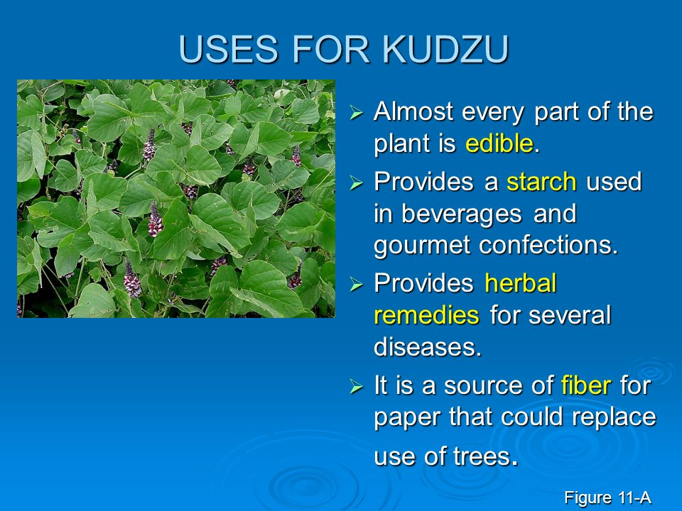 USES FOR KUDZU Almost every part of the plant is edible. Almost every part of the plant is edible. Provides a starch used in beverages and gourmet con