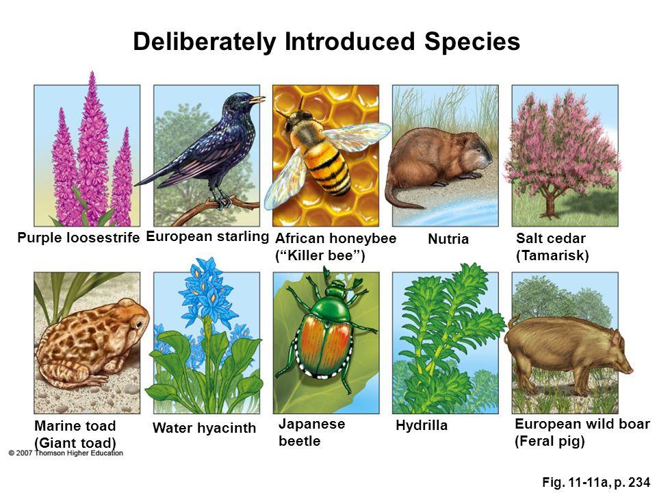 Fig. 11-11a, p. 234 Deliberately Introduced Species Purple loosestrife European starling African honeybee (Killer bee) Nutria Salt cedar (Tamarisk) Eu