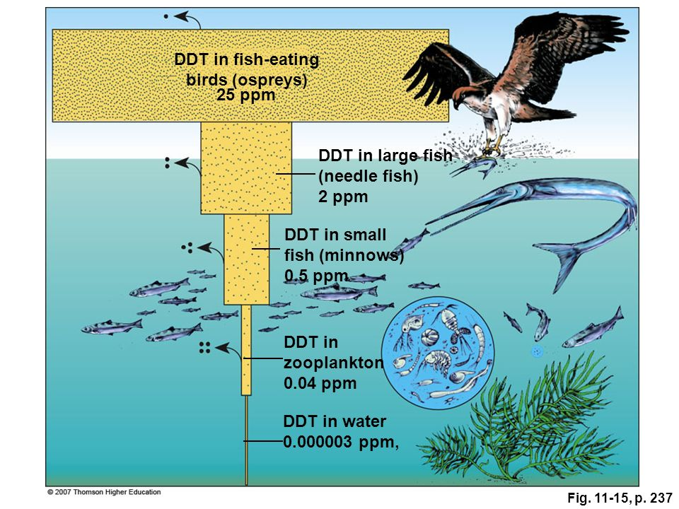 Fig. 11-15, p. 237 DDT in water 0.000003 ppm, DDT in fish-eating birds (ospreys) 25 ppm DDT in large fish (needle fish) 2 ppm DDT in small fish (minno