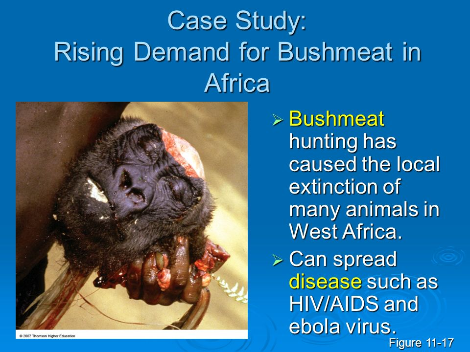 Case Study: Rising Demand for Bushmeat in Africa Bushmeat hunting has caused the local extinction of many animals in West Africa. Bushmeat hunting has