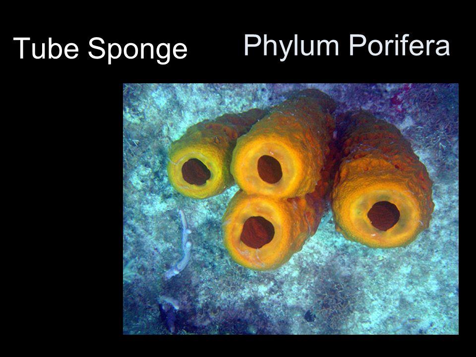Phylum Ctenophora Comb Jelly Not a true jelly fish