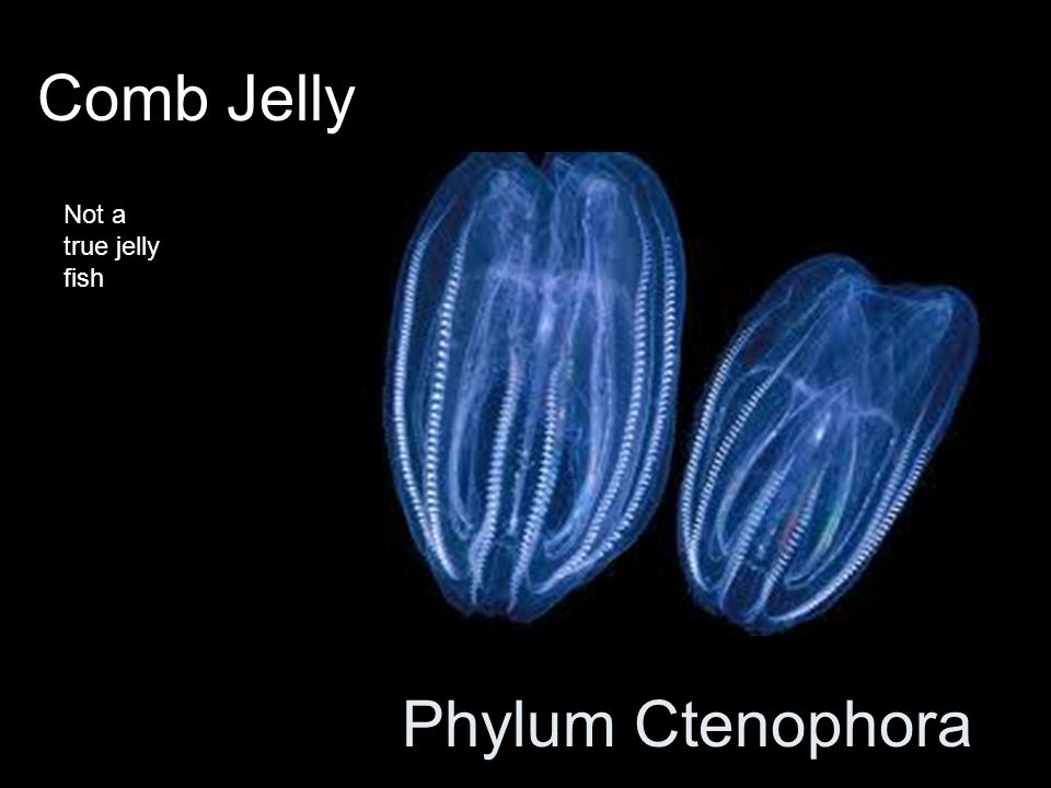 Phylum Ctenophora Comb Jelly Not a true jelly fish