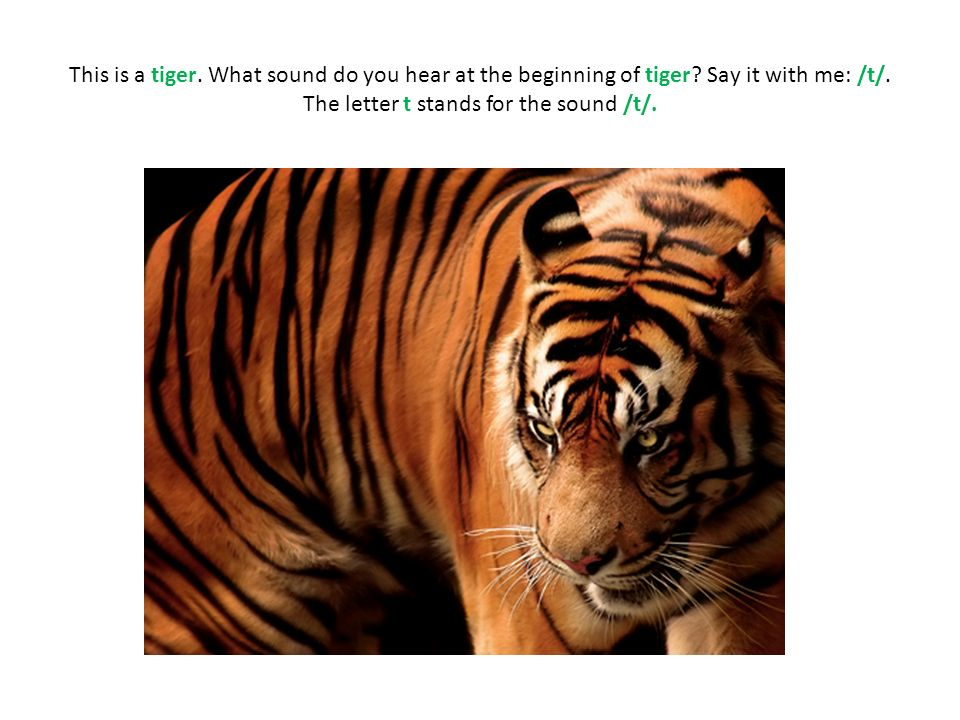 This is a tiger. What sound do you hear at the beginning of tiger? Say it with me: /t/. The letter t stands for the sound /t/.