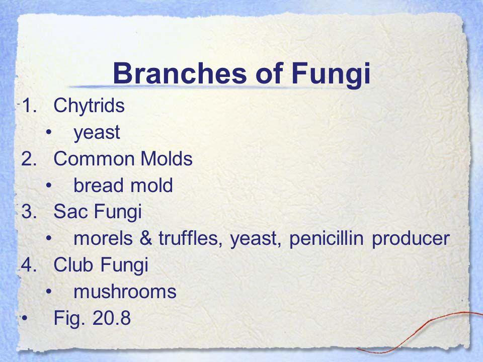 Branches of Fungi 1.Chytrids yeast 2.Common Molds bread mold 3.Sac Fungi morels & truffles, yeast, penicillin producer 4.Club Fungi mushrooms Fig. 20.