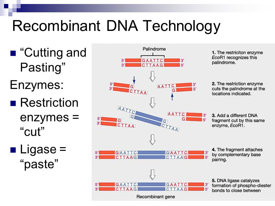 Recombinant DNA Technology Cutting and Pasting Enzymes: Restriction enzymes = cut Ligase = paste